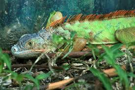 imágenes de iguanas verdes iguanas verdes vuelven a su hábitat natural en amapala honduras tips