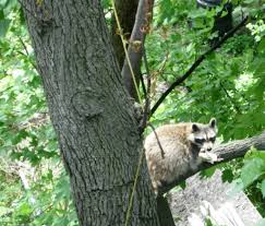 bronx council for environmental quality blog archive raccoon