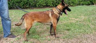belgian malinois import pup for sale avisa k9
