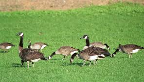 how to deal with problem canada goose in connecticut