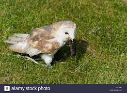 barn owl eating a mouse stock photo royalty free image 51931121