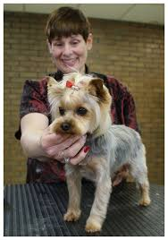 female yorkie haircuts styles yorkshire terrier with an asian butterfly head style part 2 of 2