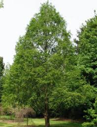 shade trees fort wayne trees