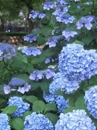 June Flowers - file blue flowers jpg wikimedia commons