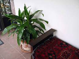 tall house plants you can grow indoors indoor plants expert
