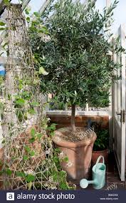 alitex glasshouse with olive tree in pot puya sp climbing up