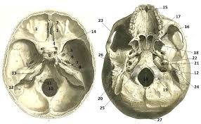 Base Of The Skull Anatomy Foramen Of The Skull Quiz By Bef 0110