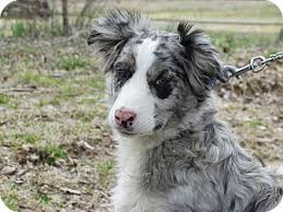 australian shepherd and border collie stormy adopted dog humboldt tn australian shepherd border