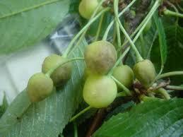 Cherry Tree Fruit - plant doctor fruit trees