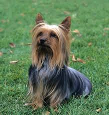 silky terrier hair cut silky terrier dog breed information