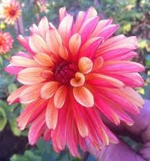 best 25 dahlias ideas on pinterest dahlia dahlia flowers and