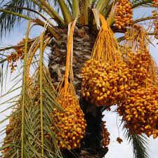 Palm Trees Fruit - date palm facts the date palm tree fruits are fruit pinterest
