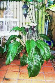 plants for the house white bat flower bat head lily devil u0027s whiskers tacca nivea