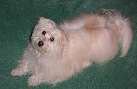 american eskimo dog winnipeg kimola dog breed information and pictures