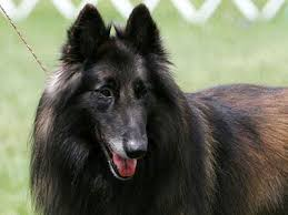belgian sheepdog 101 watch dog breeds best watch dog list