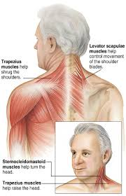 Neck To Shoulder - your neck muscles sterling care