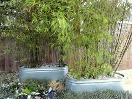 danger garden to bamboo or not to bamboo u2013 that is the question u2026