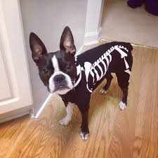 Halloween Skeleton Dog by Boston Terrier Dog Breed Information Terrier Awkward Moments