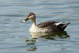 indian spot billed duck wikipedia