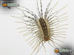 Common Bathroom Bugs House Centipede Bug Scientific Name Characteristics