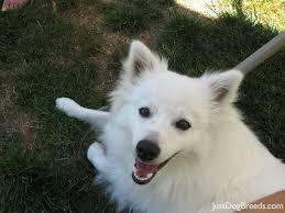 american eskimo dog ontario american eskimo dog standard puppy