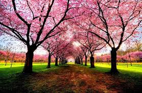 pink tree pathway lovely for taking a walk places