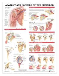 Tendons In The Shoulder Diagram Anatomy And Injuries Of The Shoulder Anatomical Chart Anatomy