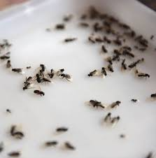 Ants In Bathtub How To Get Rid Of Flying Ants 6 Tips After Britain U0027s Summer