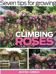 seven tips for growing climbing roses houston chronicle