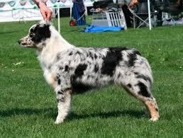 australian shepherd 7 mesi ca u0027 faggia allevamento australian shepherd pastore australiano