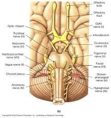 Sheep Heart Anatomy Quiz Biol 160 Human Anatomy And Physiology