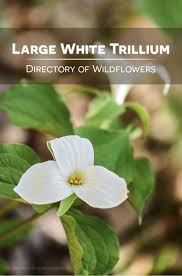 31 best wildflower directory images on pinterest wild flowers