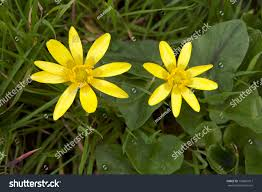 Flowers Bloom by Wetland Yellow Wild Flowers Bloom Spring Stock Photo 132681017