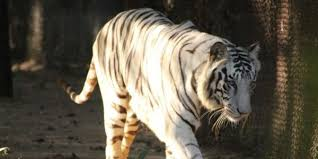 petition india bring white tigers back into the