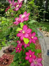 plantfiles pictures clematis late large flowered clematis u0027ville