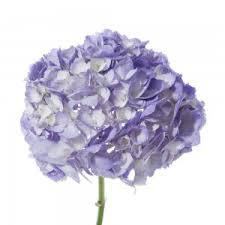 Purple Hydrangea Bulk Hydrangea Flower Muse