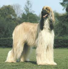 afghan hound therapy dog top 10 least intelligent dogs hard to train dog breeds