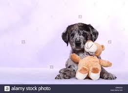 australian shepherd lab puppy australian shepherd labrador mongrel puppy stock photo royalty