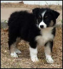 australian shepherd or german shepherd the 169 best images about aussie on pinterest working dogs
