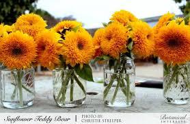 teddy sunflowers sunflower teddy seeds botanical interests high