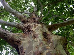 heritage tree the chion mexican sycamore at