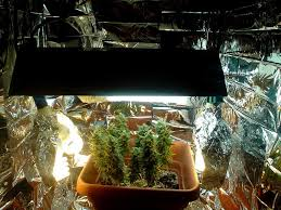 cfl grow lights for indoor plants 200 cfl microgrow pictures write up grow weed easy