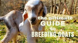 the ultimate guide to breeding goats the free range life