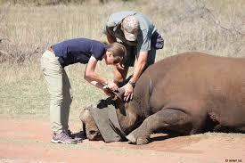 sle resume journalist position in kzn wildlife ezemvelo accommodation black rhino airlifted in amazing operation to save endangered