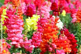 snapdragon flowers cut flower care handling snapdragon floralife