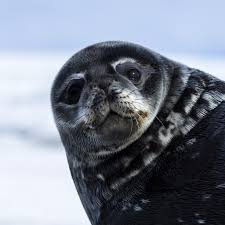 weddell seal national geographic