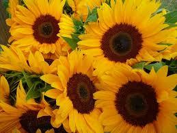 233 best sunflower power images on pinterest sunflowers