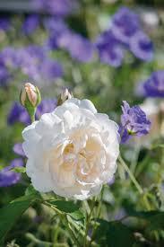 Fragrant Rose Plants - rose u0027lichfield angel u0027 ausrelate