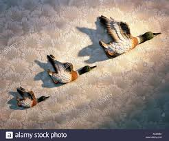 three flying ducks on the wall stock photo royalty free image