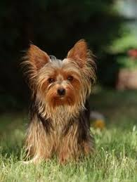 tea cup yorkie hair cuts happy 8th birthday to beautiful kol we love you and your mommy